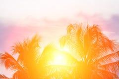 Evening sun shines through the coconut in the garden. Stock Photos