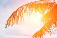 Evening sun shines through the coconut in the garden. Stock Image