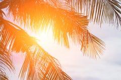 Evening sun shines through the coconut in the garden. Royalty Free Stock Photos