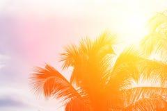 Evening sun shines through the coconut in the garden. Royalty Free Stock Photo