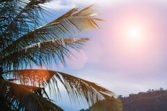 Evening sun shines through the coconut in the garden. Stock Photo