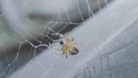 Evening sun and the web in the forest. Spider spinning a web stock video footage