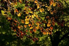 Evening sunbeams shine through the leaves of a copper beech, Fagus sylvatica purpurea. royalty free stock photography