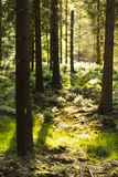 Evening Sunlight In The Forest Royalty Free Stock Photos