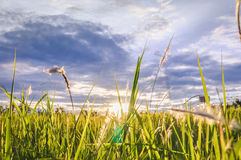 Evening sunlight on grass. In Thailand Royalty Free Stock Photo