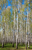 Evening sunny birch grove in first spring greens on blue sky Royalty Free Stock Photos
