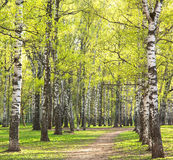 Evening sunny spring birch park with first greens Stock Photos