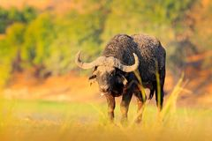 Evening sunset in Africa. African Buffalo, Cyncerus cafer, standing on the river bank, Chobe, Botswana. Africa Royalty Free Stock Photos