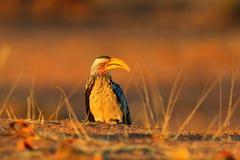 Evening sunset light with hornbill. Southern Yellow-billed Hornbill, Tockus leucomelas. Etosha, Namibia, Africa. Detail portrait. Of bird with big yellow bill stock image