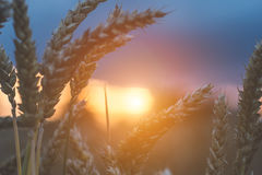Evening sunset light between wheat steams. Natural light back lit. Beautiful sun flares bokeh.  Stock Photography