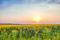 Evening sunset over a field of blooming sunflowers Royalty Free Stock Photos