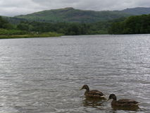 Evening Surf. Two ducks surfing on the Rydal water with a lake district peak on the background Stock Photos