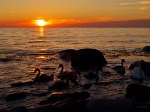 The evening swimming. Swan family on the Baltic island of Bornholm in the area Hassle Royalty Free Stock Photo