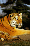 Evening tiger. Siberian tiger Royalty Free Stock Photo