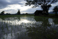Evening time on the rice field in Thailand. Royalty Free Stock Image