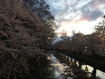 Evening view at Cherry Blossom Sakura Festival during spring royalty free stock photos