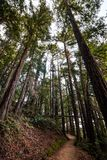 Evening view of hiking trail through a forest of redwood trees in Villa Montalvo County Park, Saratoga, San Francisco bay area, stock photography