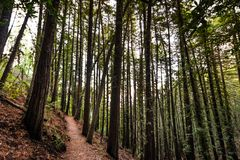 Evening view of hiking trail through a forest of redwood trees in Villa Montalvo County Park, Saratoga, San Francisco bay area, stock photo