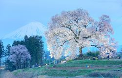 Evening view of illuminated Wanitsuka Sakura (a 300 year old giant cherry tree) on a hill with snow-capped Mount Fuji Stock Photos