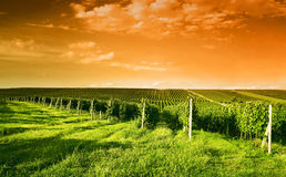 Evening view of the vineyards stock photo