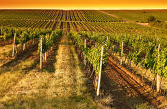 Evening view of the vineyards Royalty Free Stock Photo