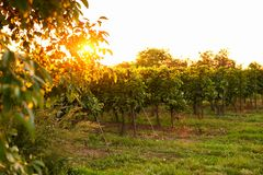 Evening view of vineyards with sun in the background. Evening view of the vineyards. Toned at sunset stock image