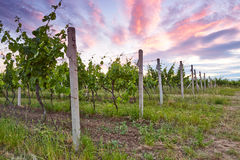 Evening view of the vineyards Royalty Free Stock Photos