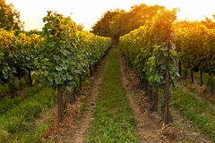 Evening view of the vineyards stock image