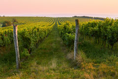 Evening view of the vineyards royalty free stock photography