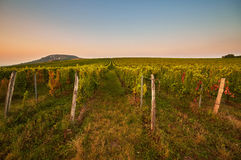 Evening view of the vineyards Royalty Free Stock Image