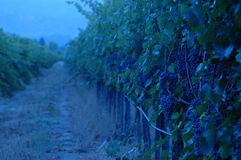 Evening in the Vineyard Stock Photo