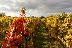 Evening on vineyards in the Czech Republic. Cloudy. Wine growing. Wine country. Stock Image