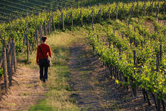 Evening walk. Woman walking on a way through wine ripes Royalty Free Stock Photography