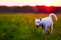 Evening walk on the meadow Royalty Free Stock Image