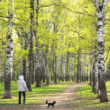 Evening walking in sunny spring birch park with first greens Royalty Free Stock Image