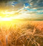 Evening wheat field royalty free stock images