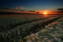 Evening wheat field. summer landscape Stock Photo