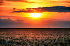 Evening wheat field. summer landscape Stock Images