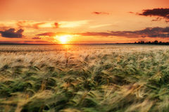 Evening wheat field. summer landscape Royalty Free Stock Photos