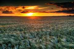 Evening wheat field. summer landscape Stock Image