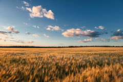 Evening wheat field. summer landscape Royalty Free Stock Images