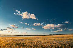 Evening wheaten field. summer landscape Royalty Free Stock Images