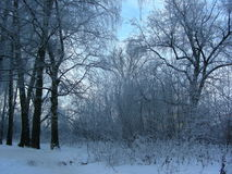 Evening winter forest in the park, the trees stand on the edge Royalty Free Stock Image