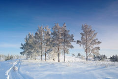 Evening winter landscape with pines Royalty Free Stock Photography