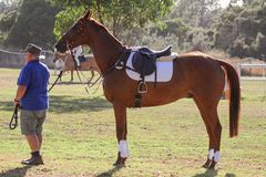 Eventing horse Royalty Free Stock Photos