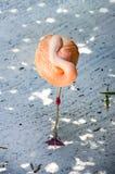 In evenwicht brengende Flamingo Royalty-vrije Stock Foto's