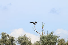 In evenwicht brengende wit-De steel verwijderde van adelaar dichtbij rivier IJssel, Holland Stock Fotografie