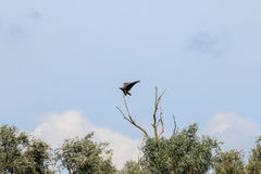 In evenwicht brengende wit-De steel verwijderde van adelaar dichtbij rivier IJssel, Nederland Stock Foto