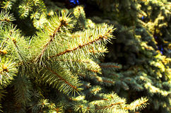 Ever-green fir branches Stock Photography