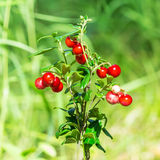 Ever-green shrub red Bilberry lat. Vaccinium vitis-idaea L. Close-up Stock Photography